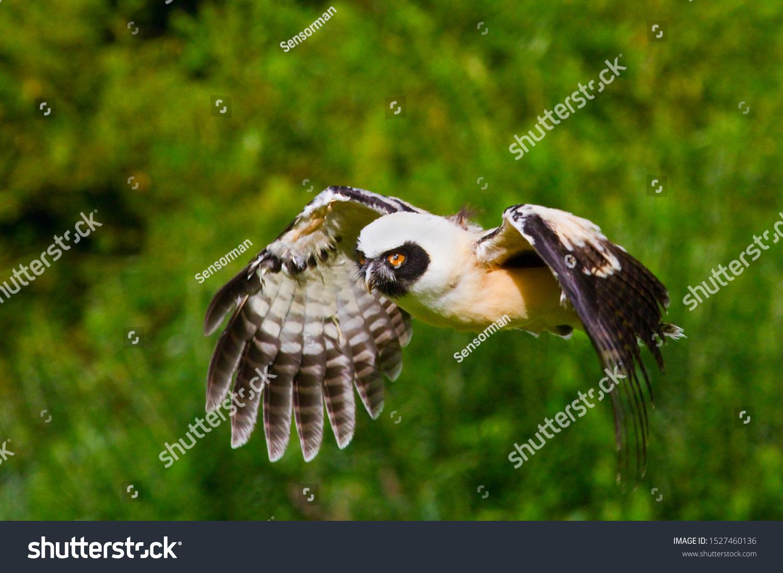 Spectacled Owl Pulsatrix Perspicillata Large Tropical Stockillustration  20595424