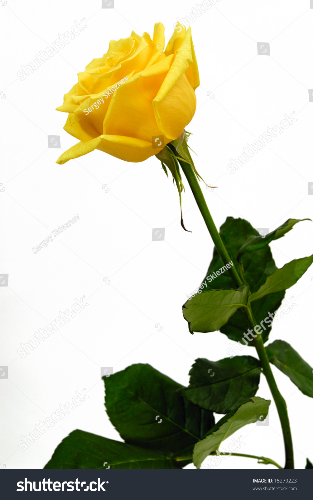 Single Yellow Rose On White Background Stock Photo ...