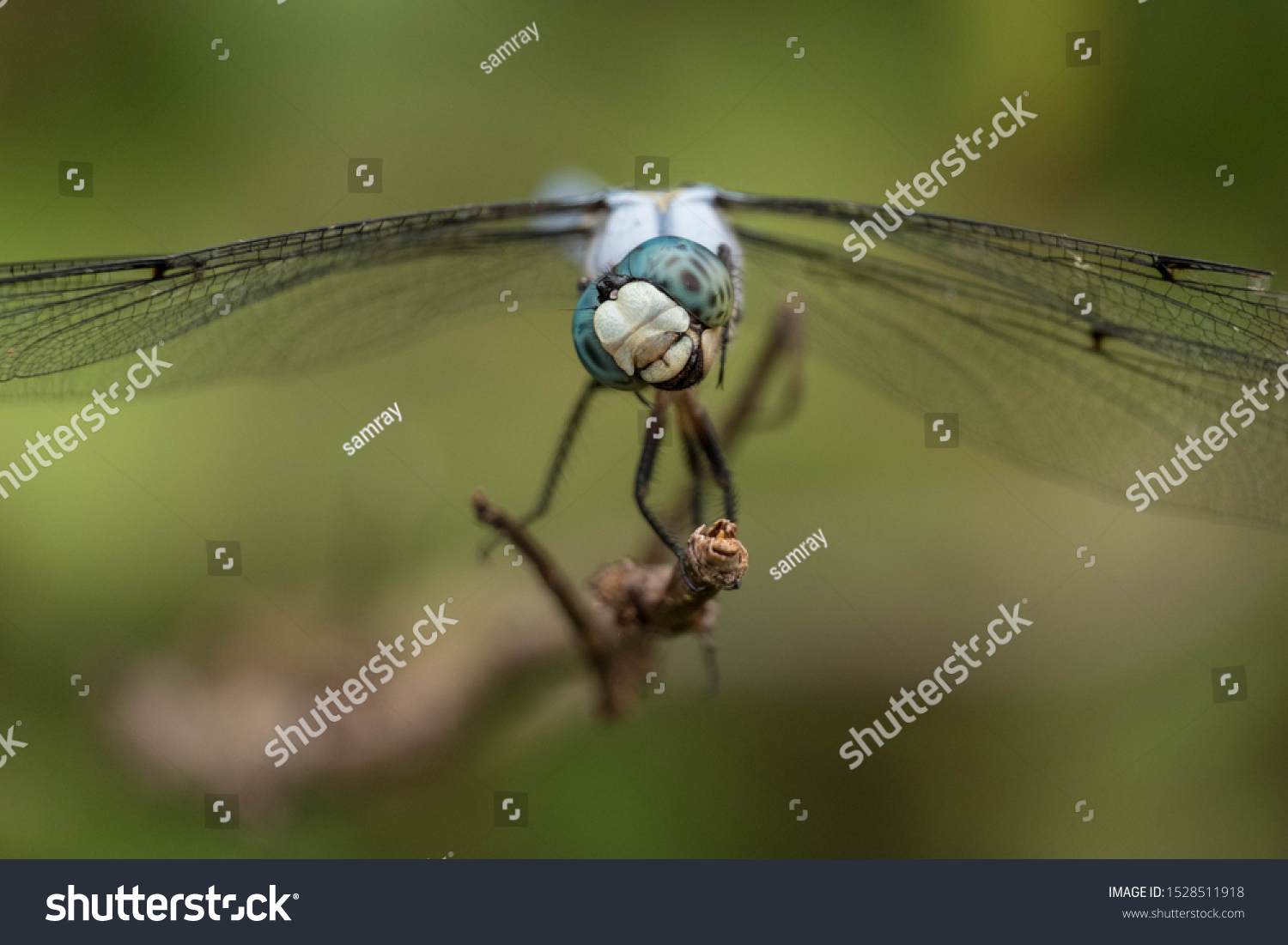This slaty skimmer tilts its head as it eyes tiny insects flying by. But the position of the mouth and jaws makes it appear to be laughing. Good for a meme.