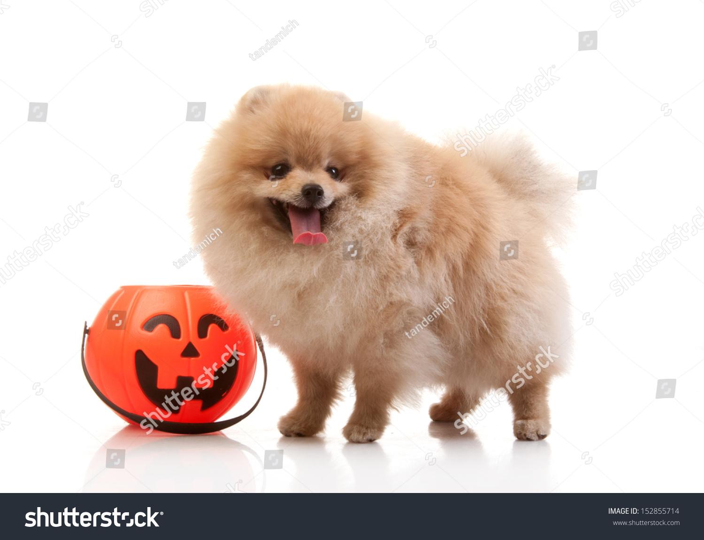 spitz pomeranian dog halloween pumpkin studio stock photo (edit now