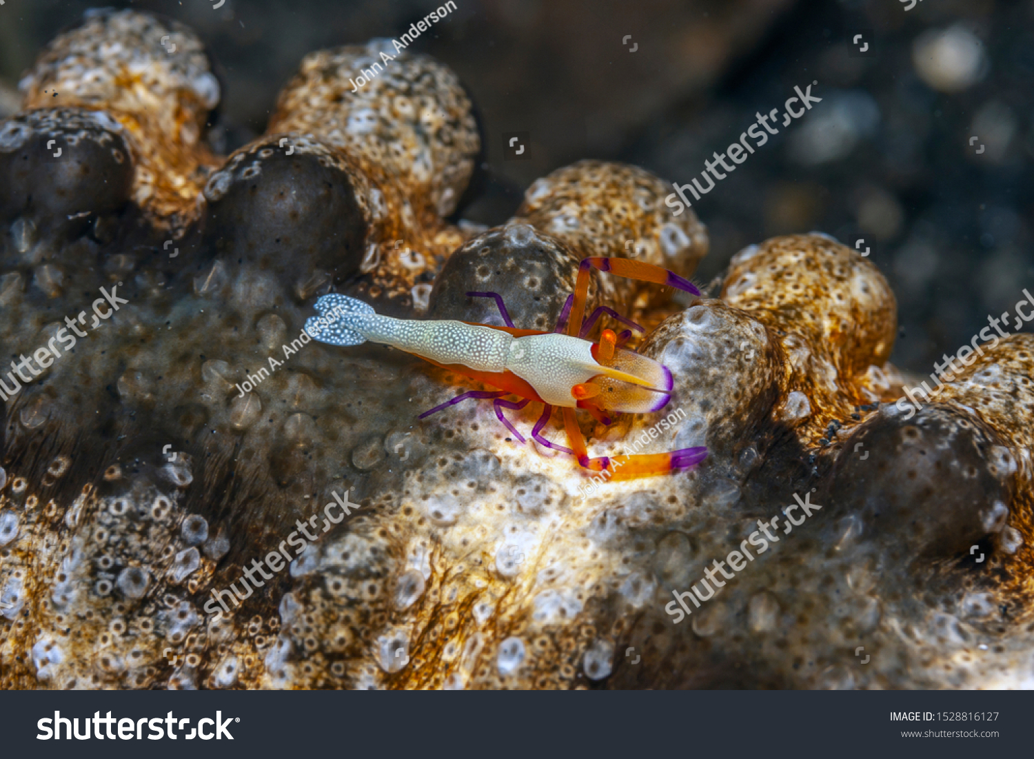 Periclimenes imperator, known as the emperor shrimp, is a organism of shrimp with a wide distribution across the Indo-Pacific #1528816127