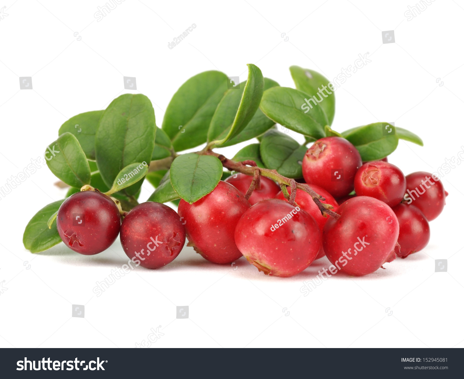 Lingonberry leaves: application in traditional medicine 91