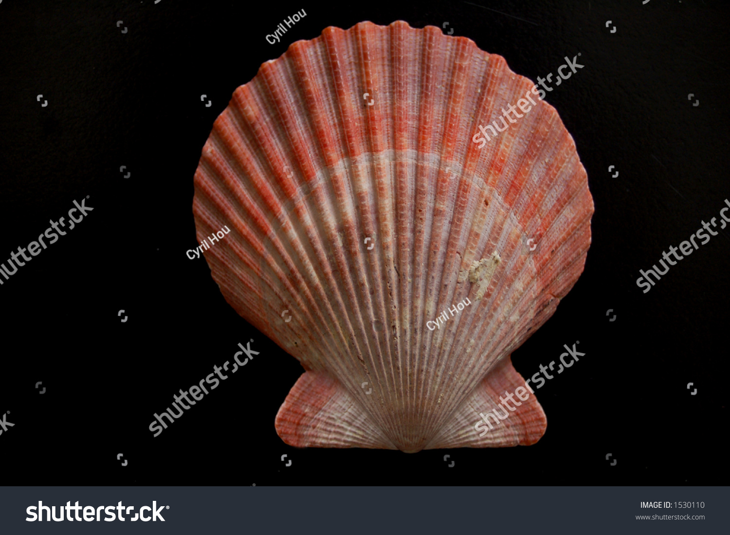 Scallop shell pecten maximus isolated on stock photo 1530110 scallop shell pecten maximus isolated on pure black biocorpaavc Image collections