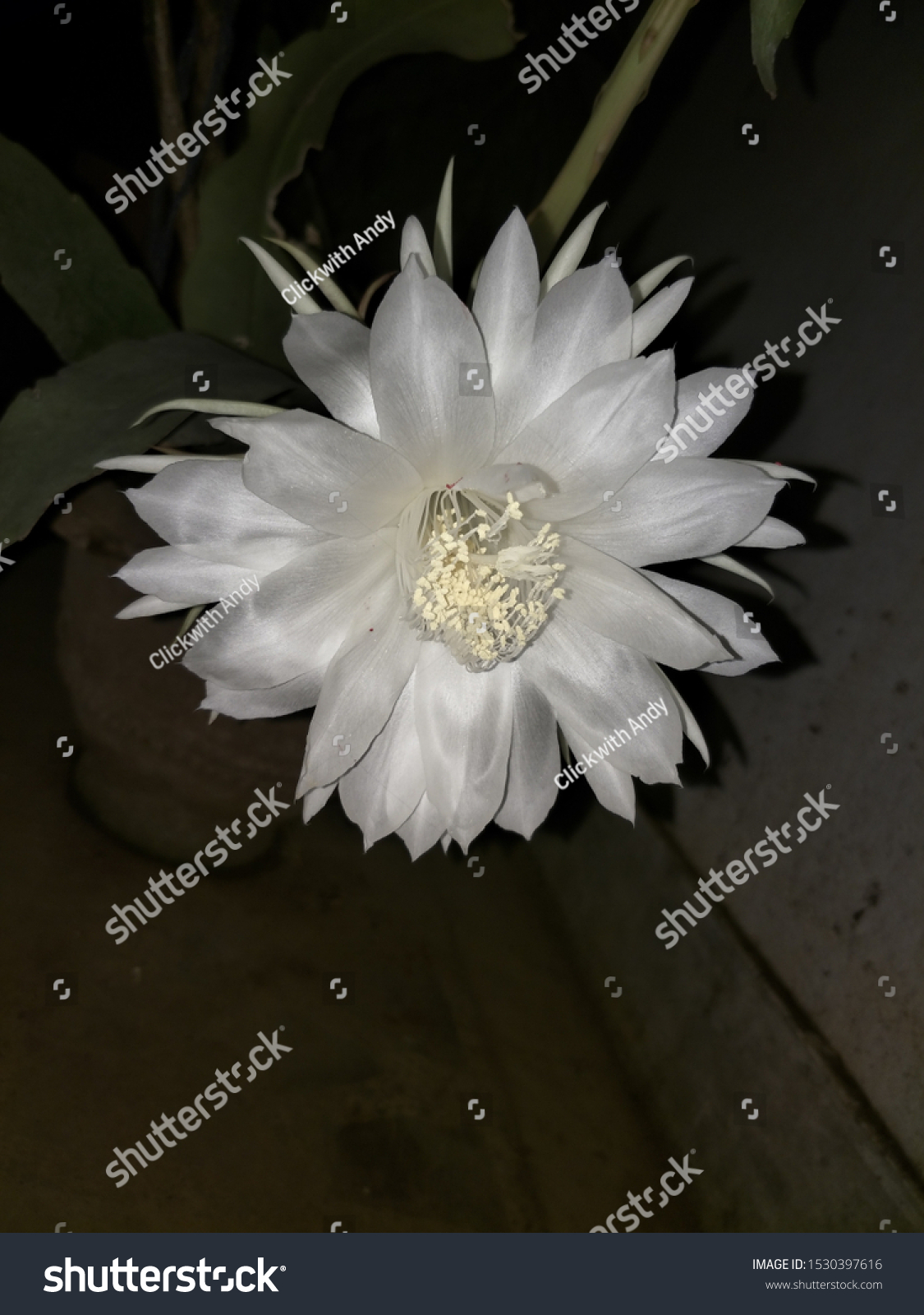 Bhrahmakamal Night Flower That Blooms Once Stock Photo Edit Now