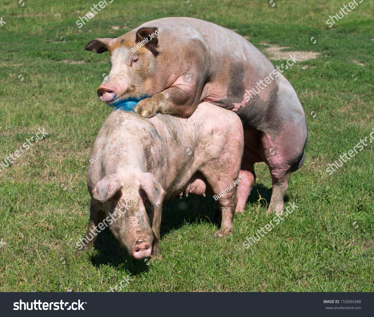 Pig sex photo naked images