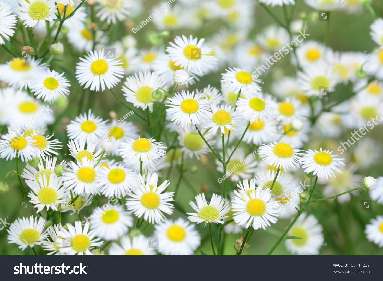 Macro Shot Small Daisy Type Wild Stock Photo Edit Now 153111239