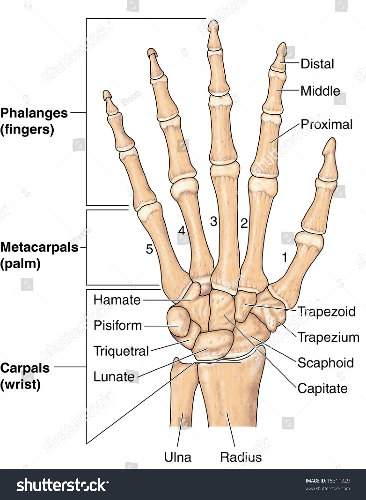 Human Hand Bones Labeled Stock Illustration 15311329 Shutterstock