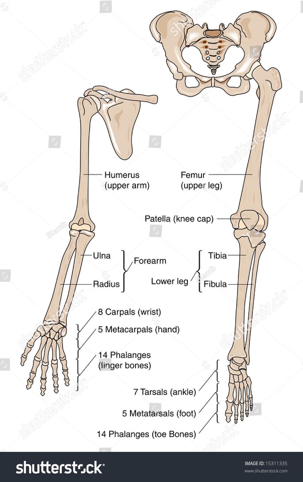 Human Limb Bones Labeled Stock Illustration 15311335 Shutterstock