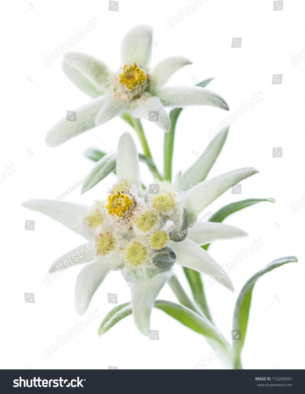 edelweiss flowers  flower, Natural flower
