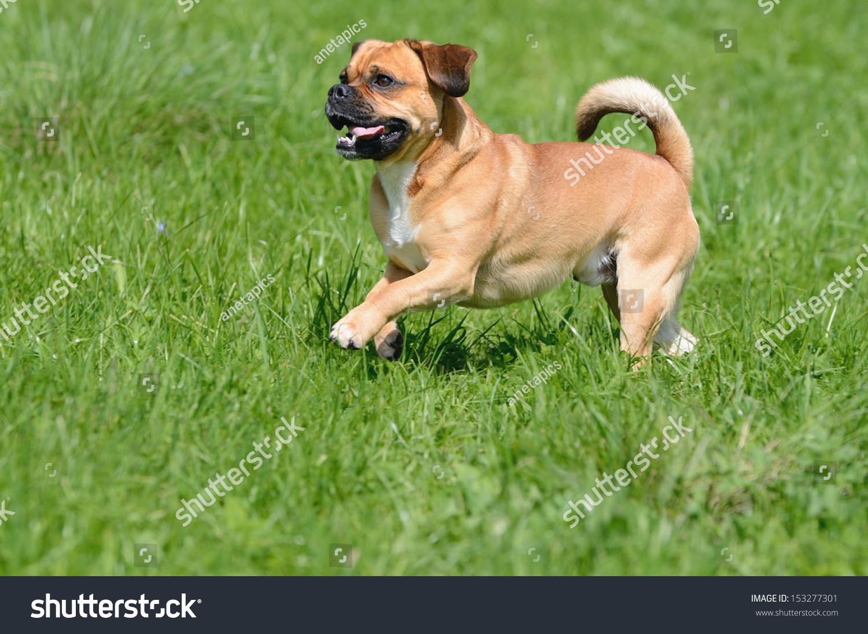 puggle dog designer dog mops and beagle stock photo 153277301 shutterstock. Black Bedroom Furniture Sets. Home Design Ideas