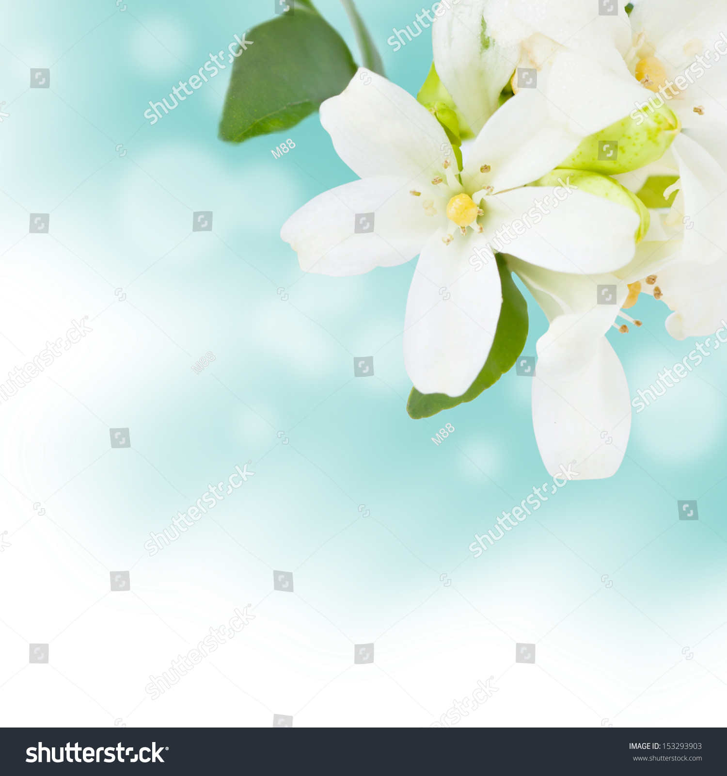 Beautiful Jasmine Flowers Background Stock Photo 153293903