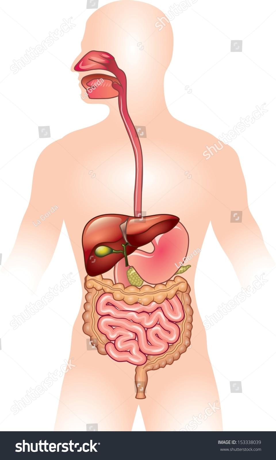 Human Digestive System Vector Illustration Stock Vector Royalty