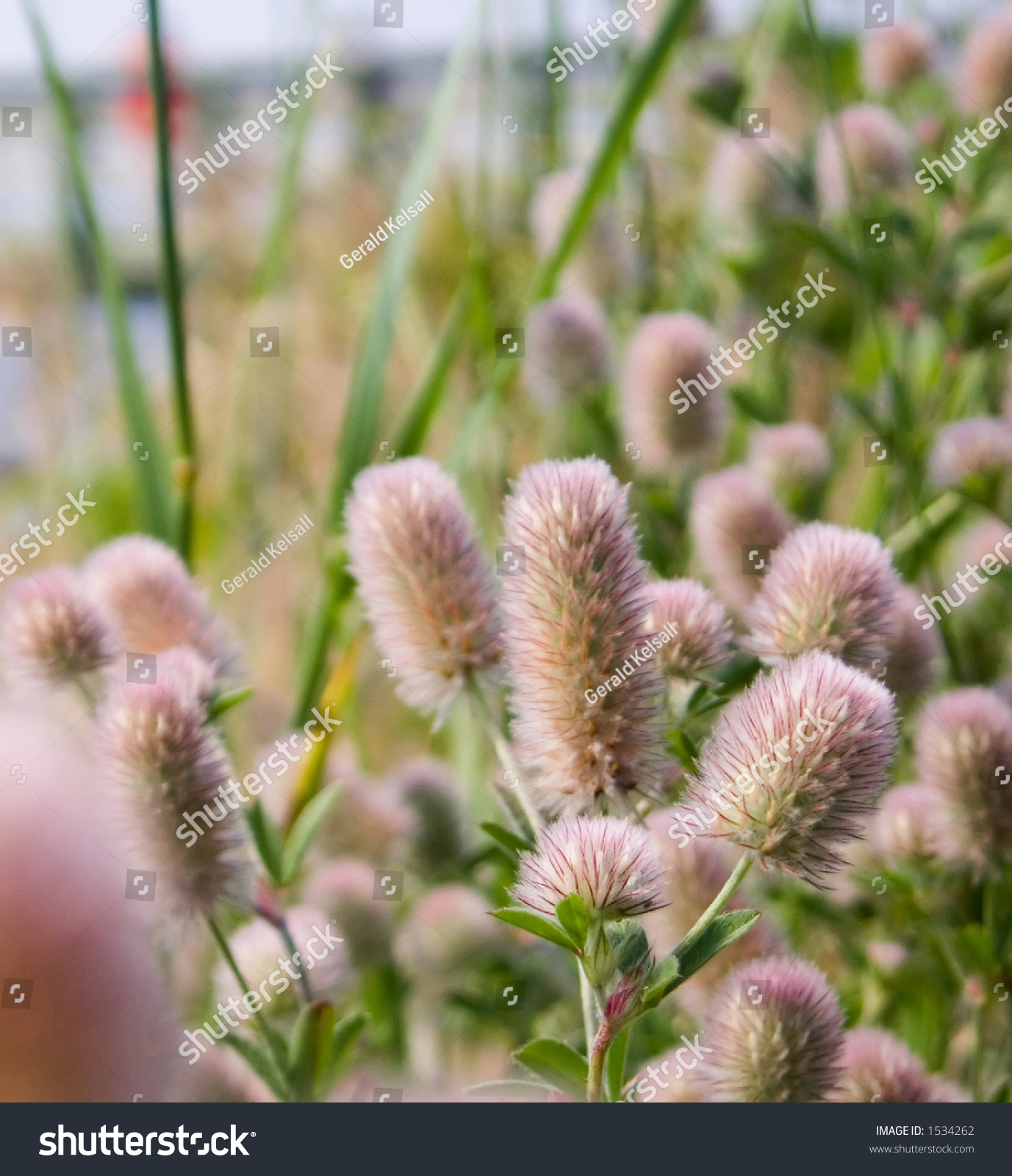 Pink Fuzzy Flowers By Sea Shore Stock Photo Edit Now 1534262