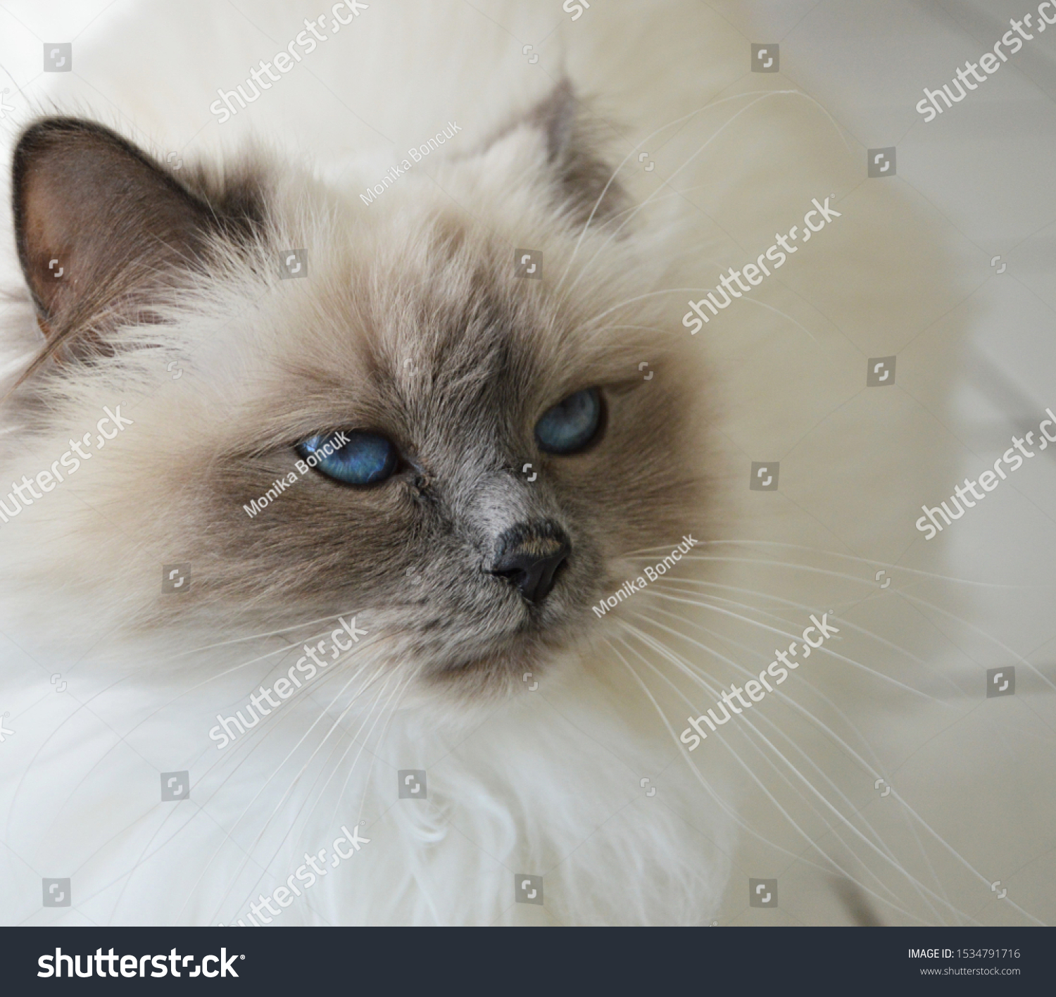 stock-photo-a-cute-white-cat-with-blue-e