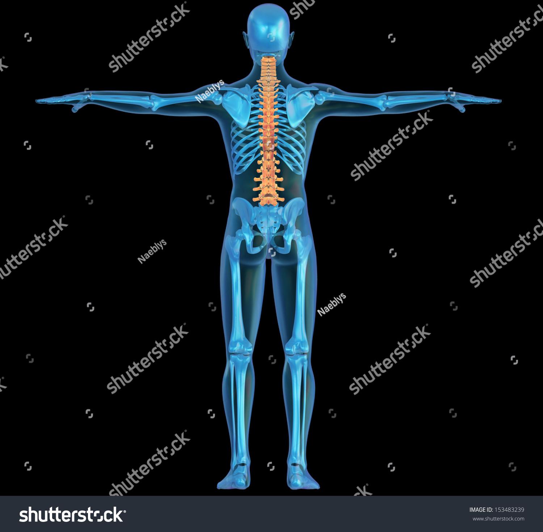 Human Body Skeleton Pain Spine Back Stock Illustration 153483239