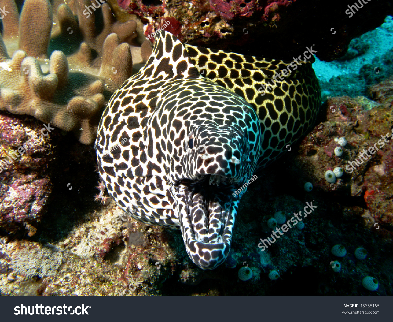 http://image.shutterstock.com/z/stock-photo-honeycomb-moray-eel-15355165.jpg
