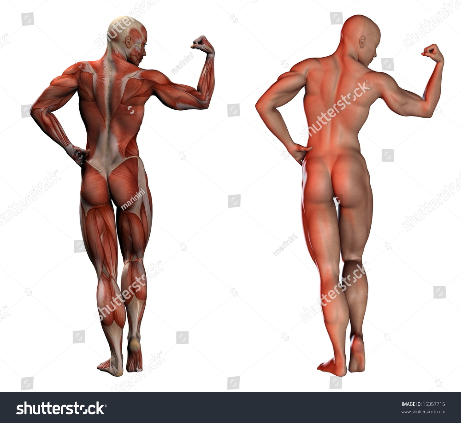 3d image human muscles anatomy normal stock illustration 15357715, Muscles