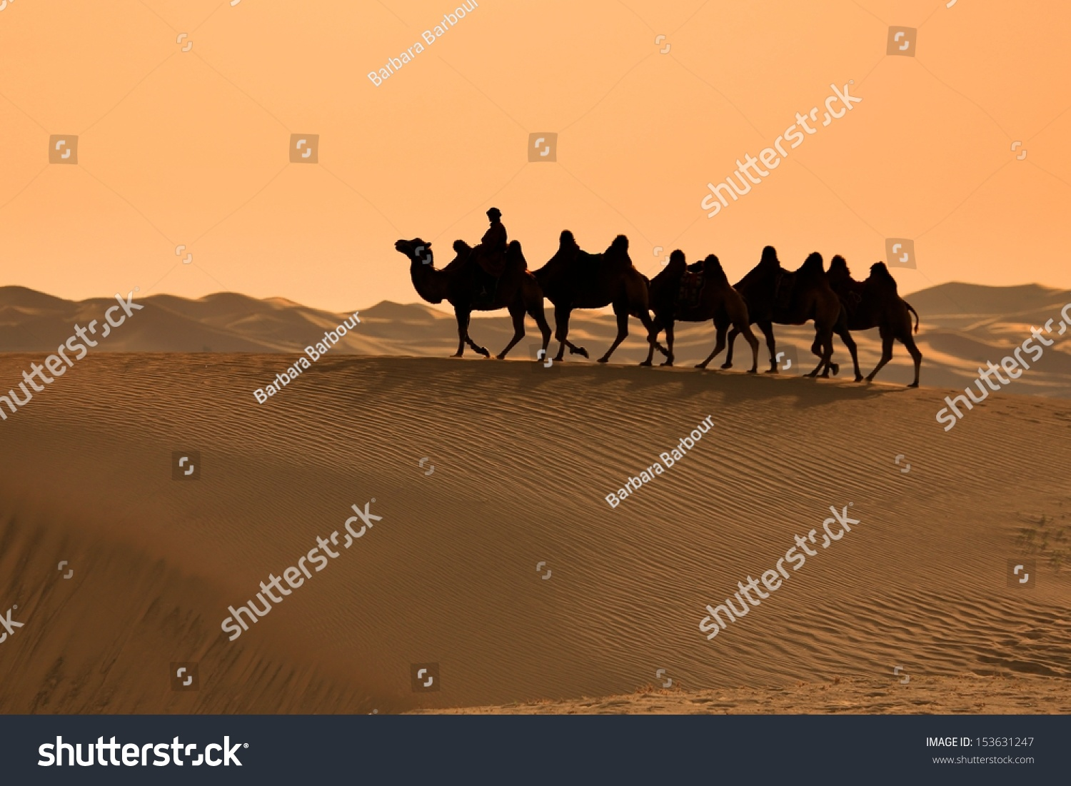Bactrian Camels At Sunset, In Gobi Desert, Mongolia Stock ...