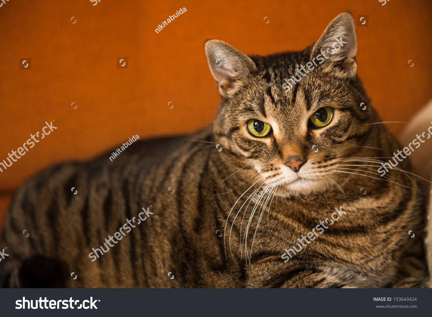 Gray Domestic Cat Resting Stock
