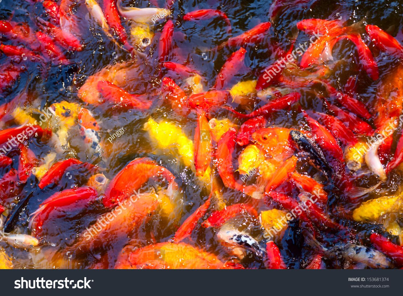 Beautiful Koi Fish Swimming Pond Stock Photo (100% Legal Protection ...