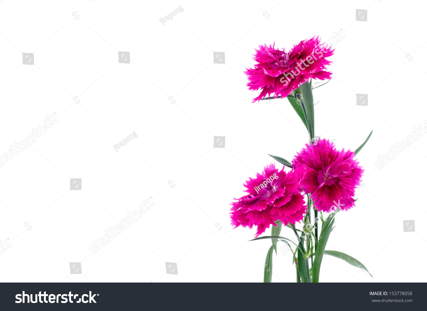 Dianthus Sweet William Flower On White Stock Photo Royalty Free