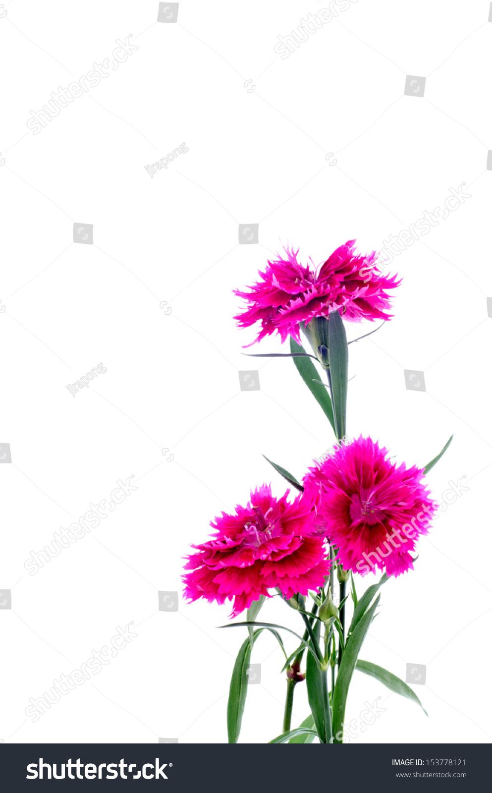 Dianthus Or Sweet William Flower On White Background Ez Canvas