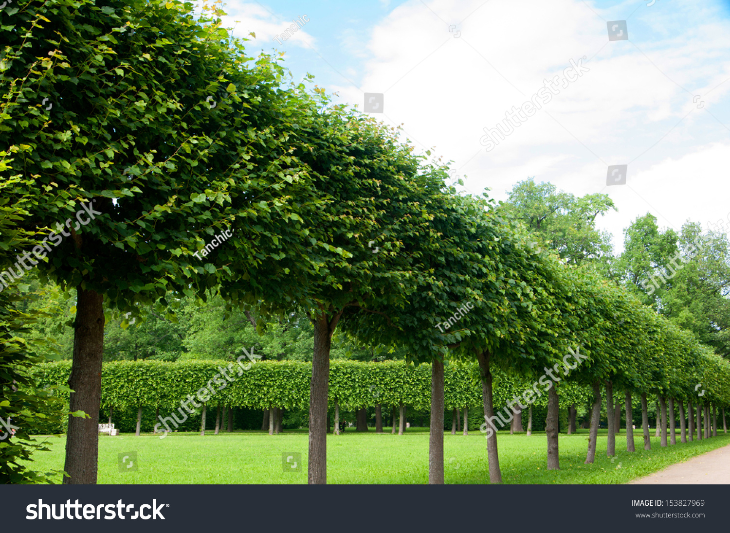 Alley Of Green Trees Trimmed Square Shape In The Park