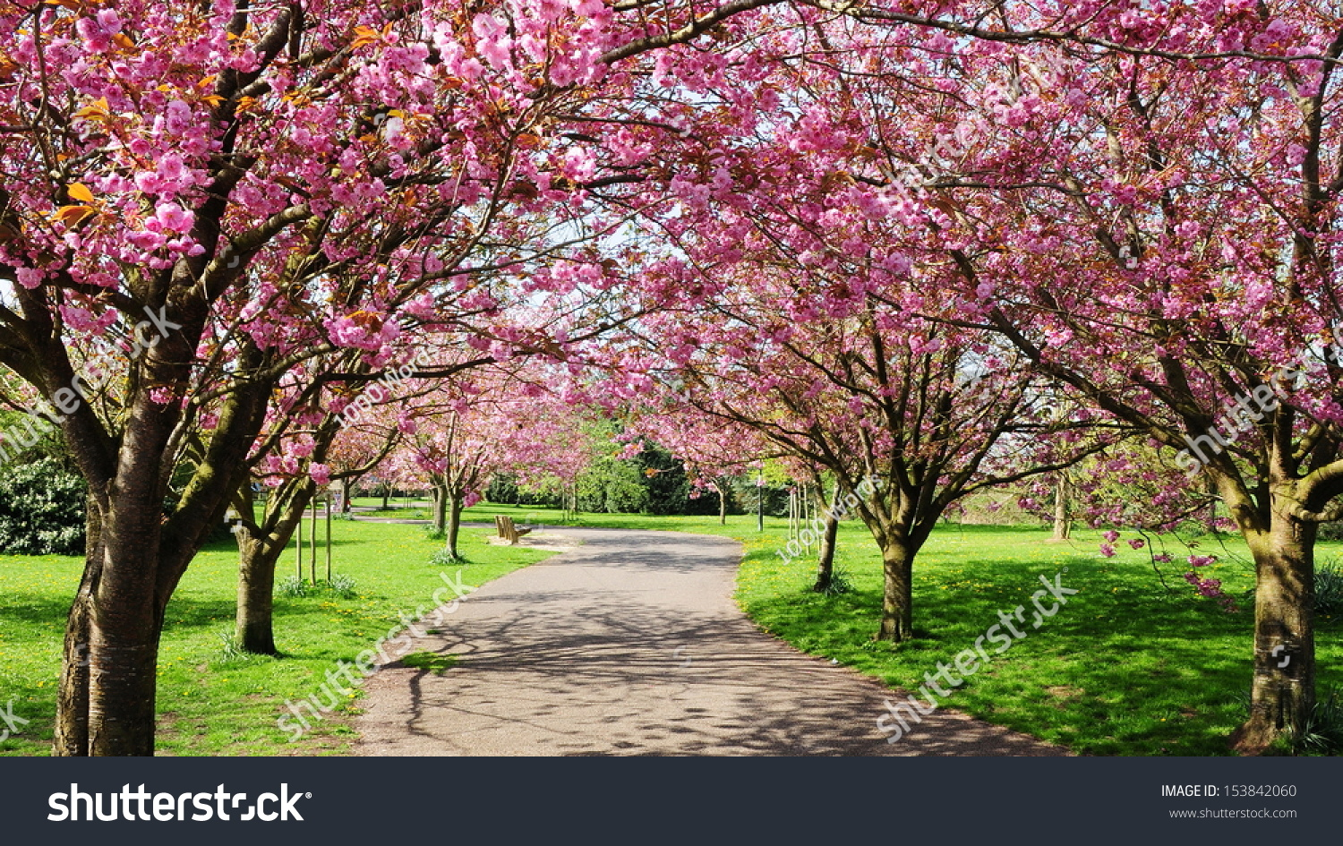how to say cherry blossom in japanese
