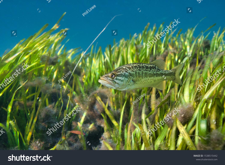 stock-photo-a-beautiful-young-largemouth