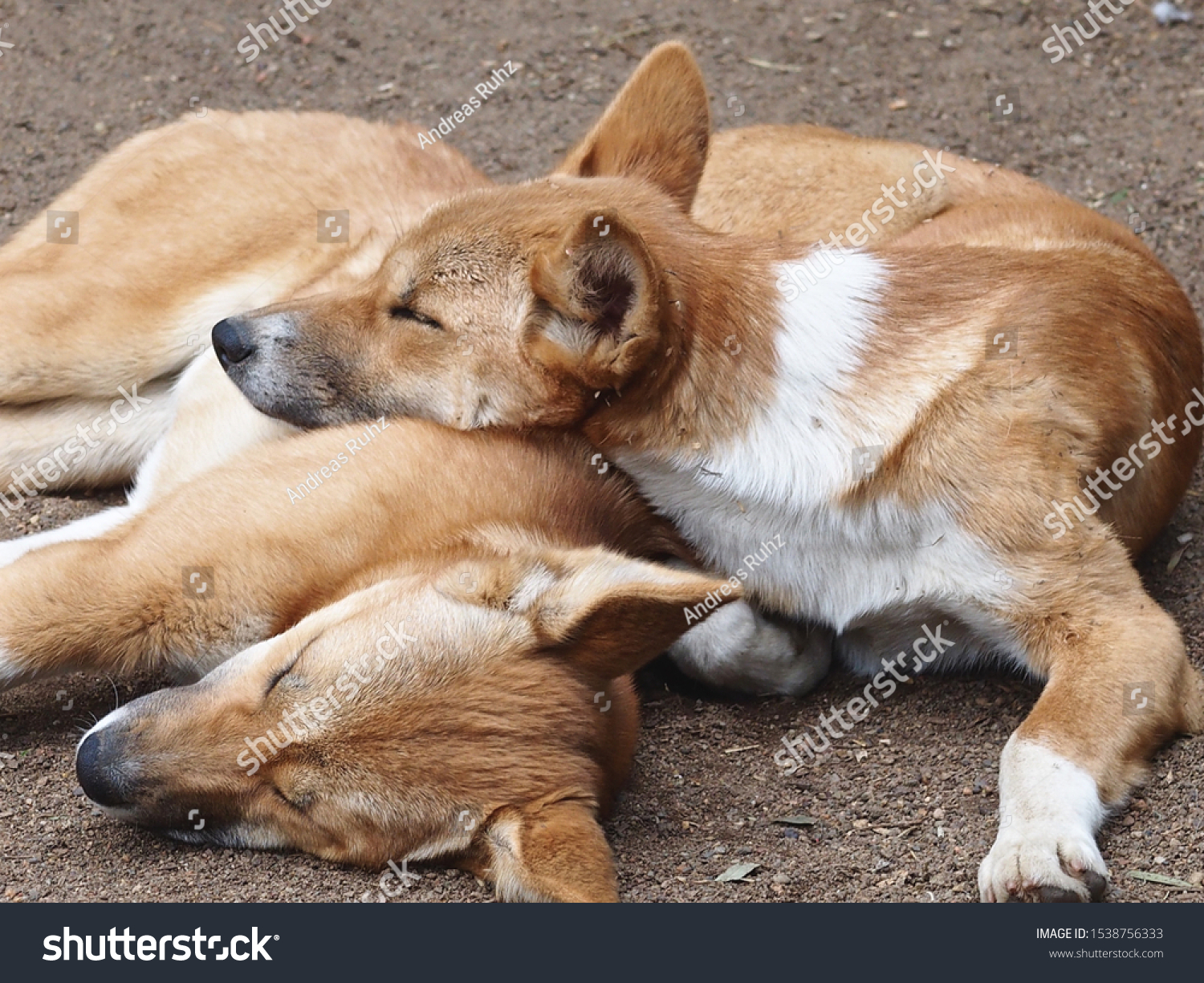 A Closeup Portrait of Two Restful Relaxed Dingoes in a Calm Tranquil Pose.          #1538756333
