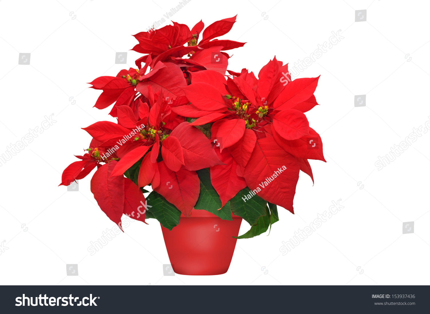 Beautiful Poinsettia Red Christmas Flower On White