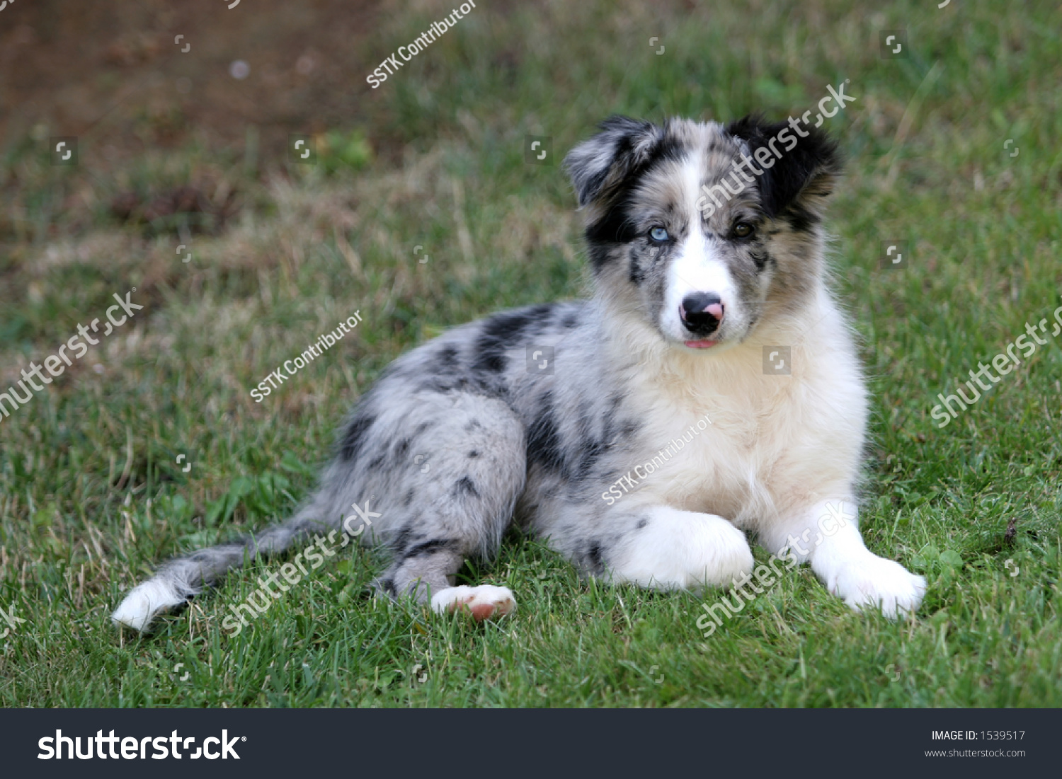 Bluemerle Border Collie Puppy Watching Stock Photo Edit Now 1539517