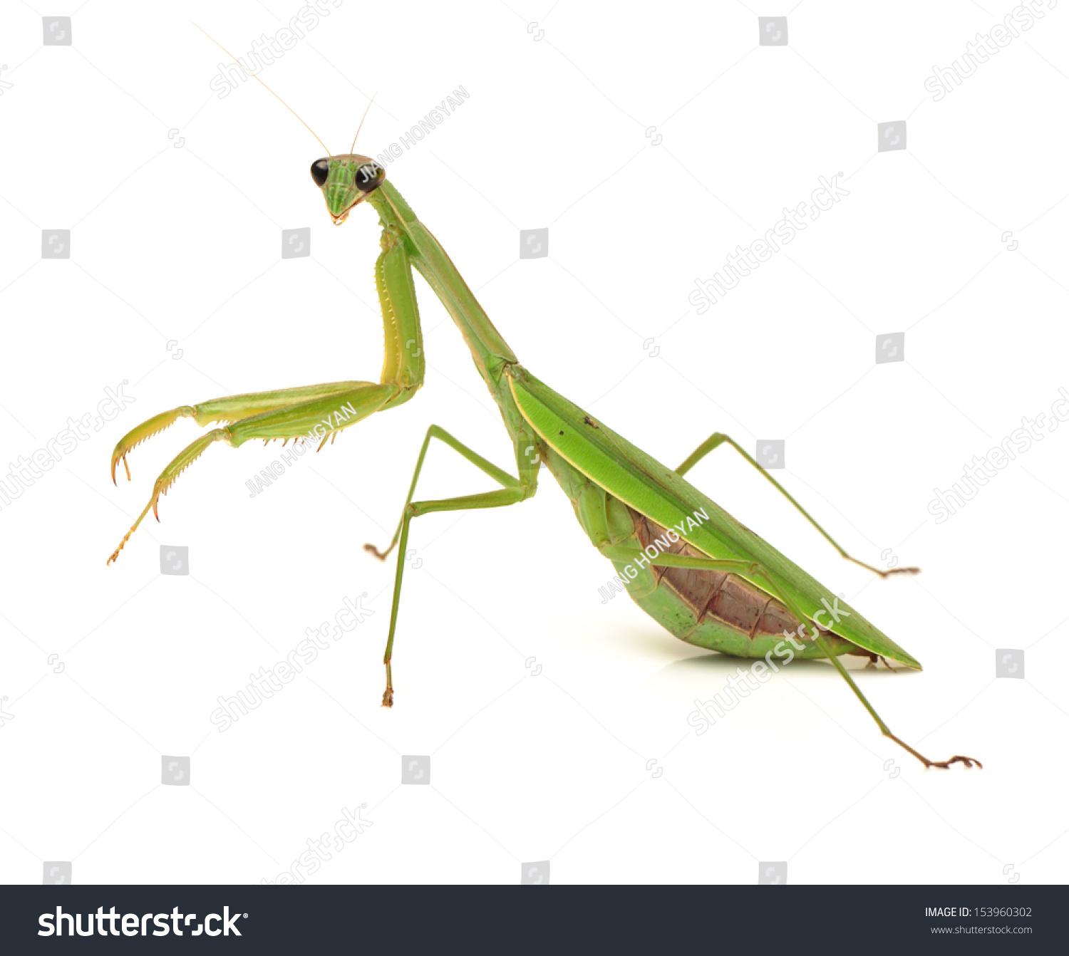 the background of the praying mantis