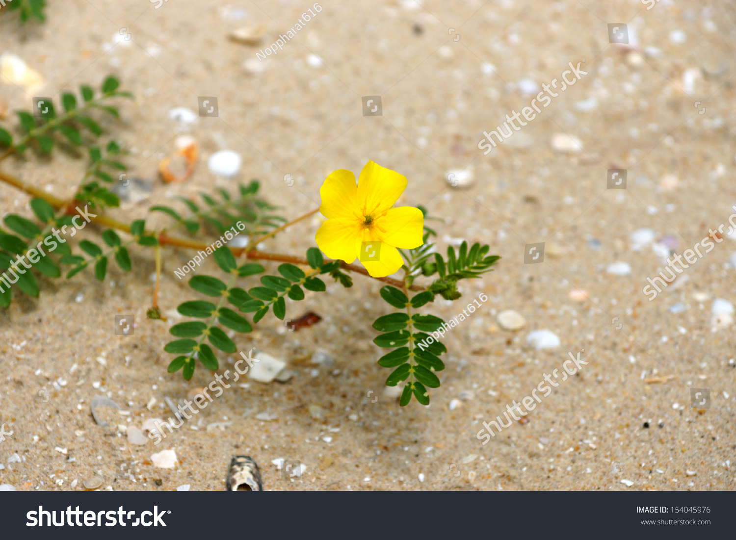 Yellow Flowers On Beach Tribulus Terrestris Stock Photo Edit Now