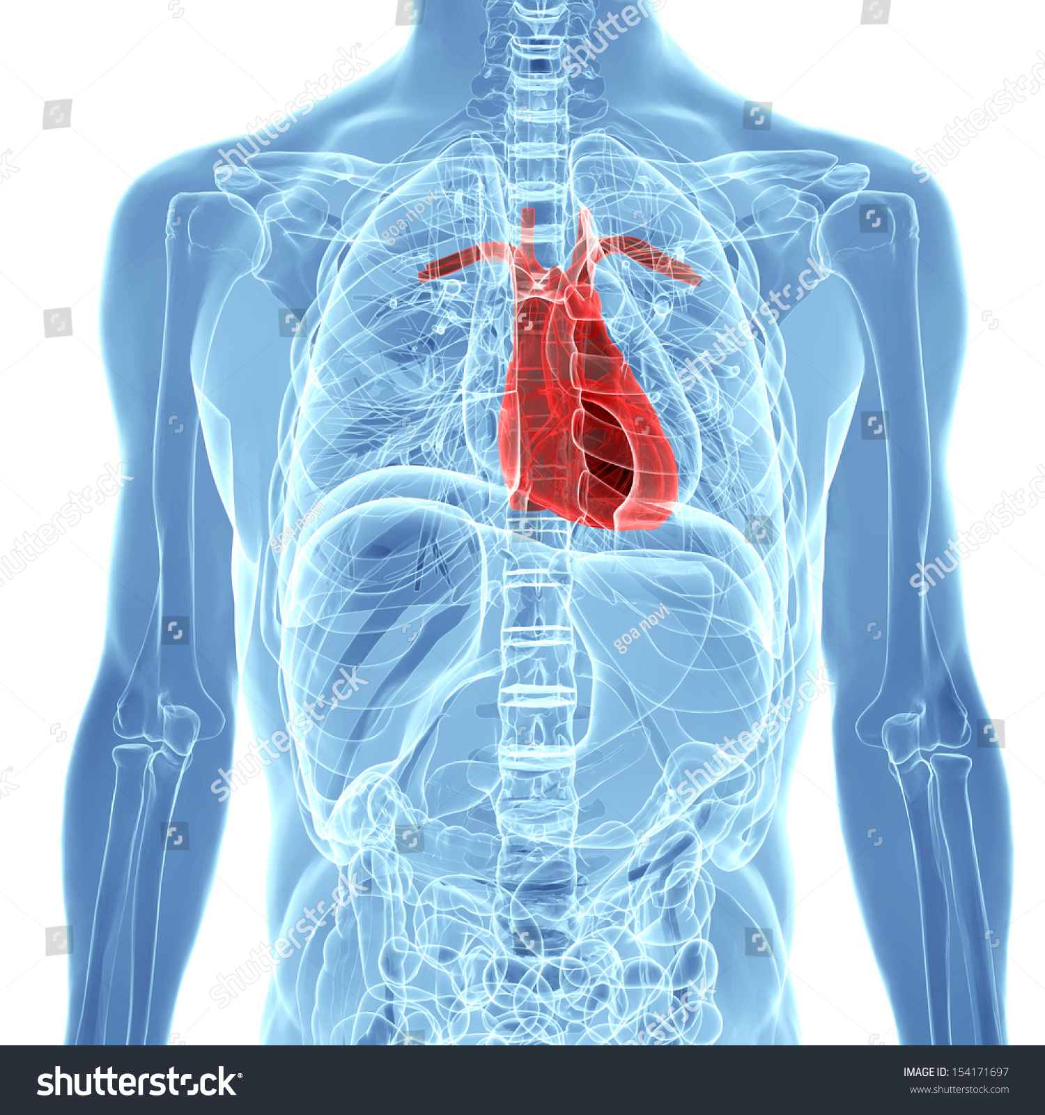 Human Heart Inside Human Xray Body Stock Illustration 154171697