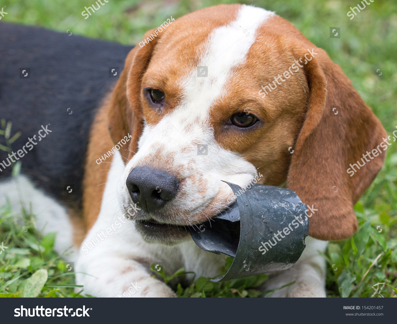 Hush Puppies Dog Miscellaneous Stock Image 154201457