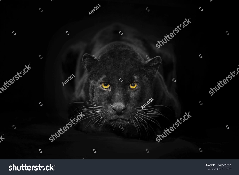 Beautiful black panter portrait on dark background #1542550379