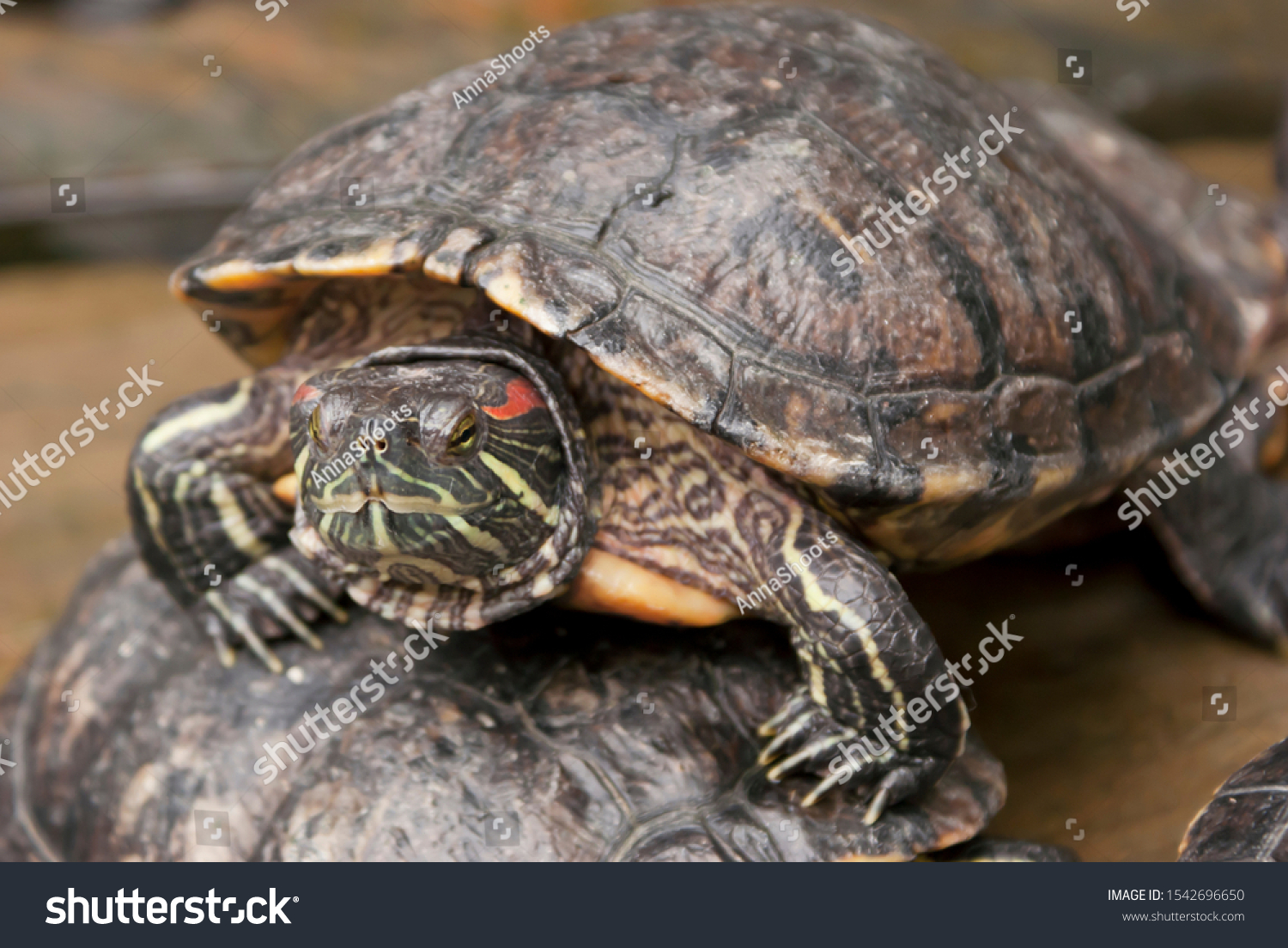 stock-photo-the-curious-turtle-basks-on-