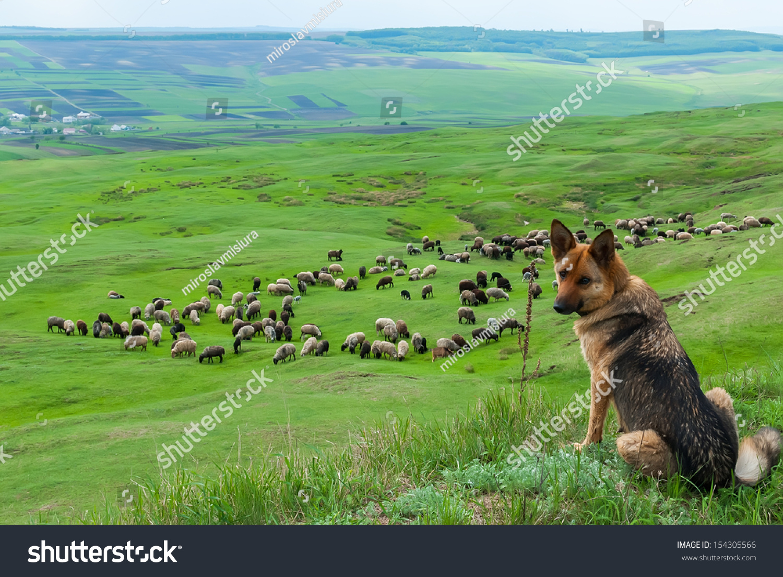 http://image.shutterstock.com/z/stock-photo-a-sheepdog-guarding-a-flock-of-sheep-154305566.jpg