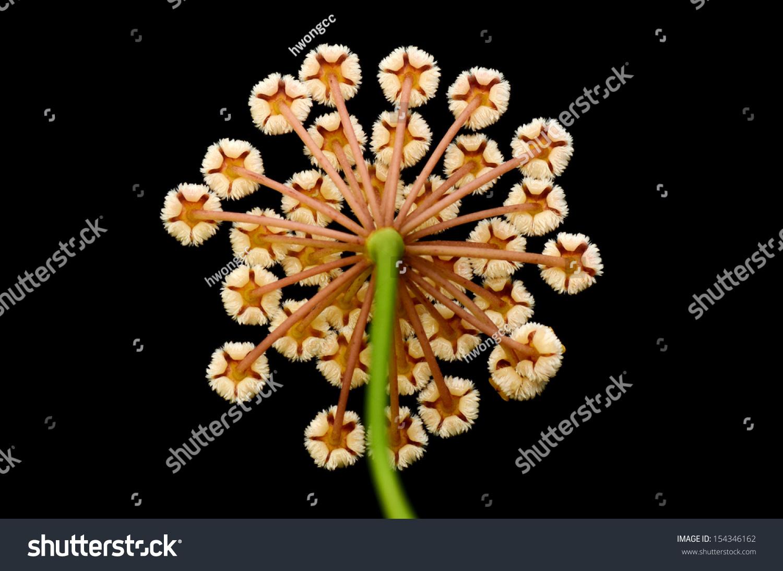 Hoya Obscura Flower Wax Plant Flower Stock Photo Edit Now 154346162