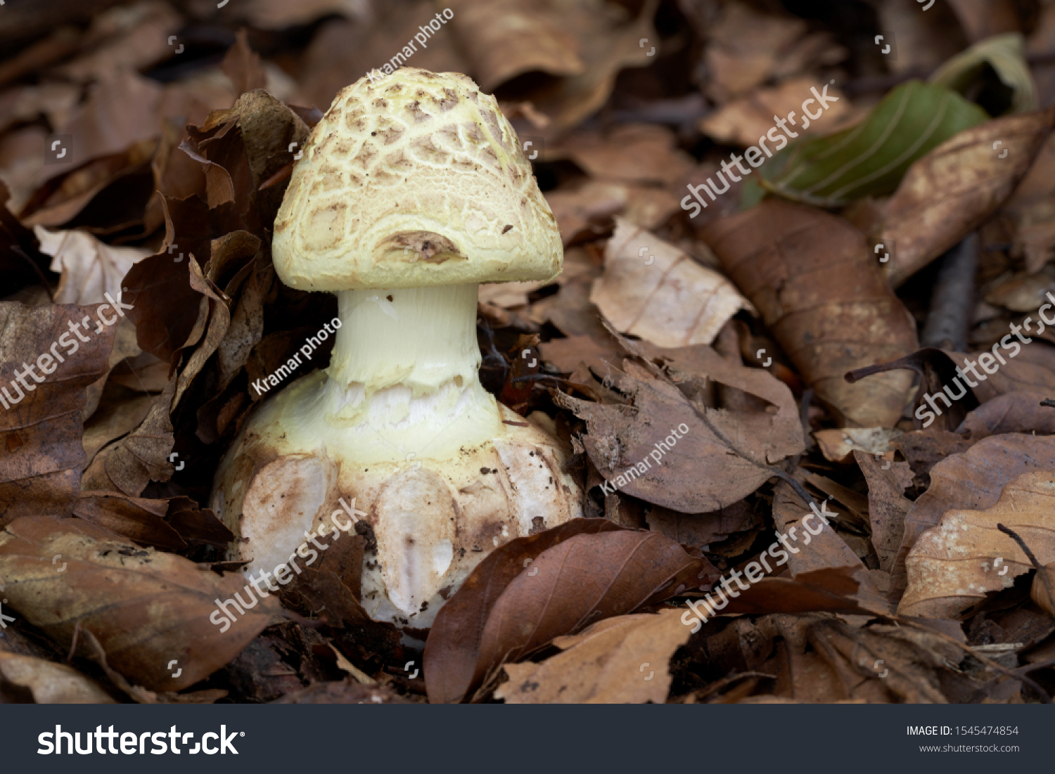 Inedible mushroom Amanita citrina growing in the leaves in the beech forest. Also known as false death cap, Citron Amanita or Amanita mappa. Mushroom with lemon yellow cap and stem. Autumn time.