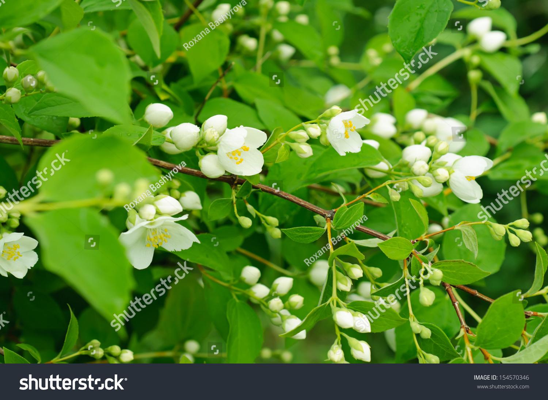 Jasmine Flower Growing On The Bush In Garden Ez Canvas