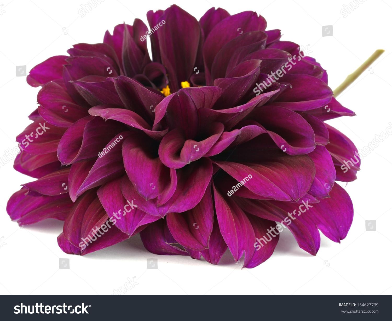 Dark purple dahlia flower on white stock photo edit now 154627739 dark purple dahlia flower on a white background izmirmasajfo