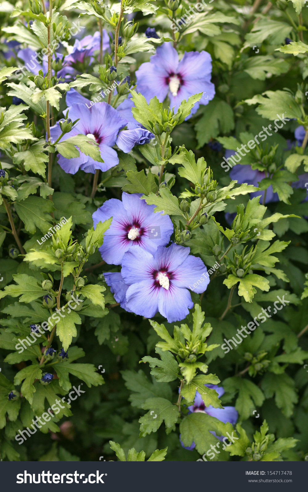 Blue Violet White Flowers Hibiscus Syriacus Stock Photo Safe To Use