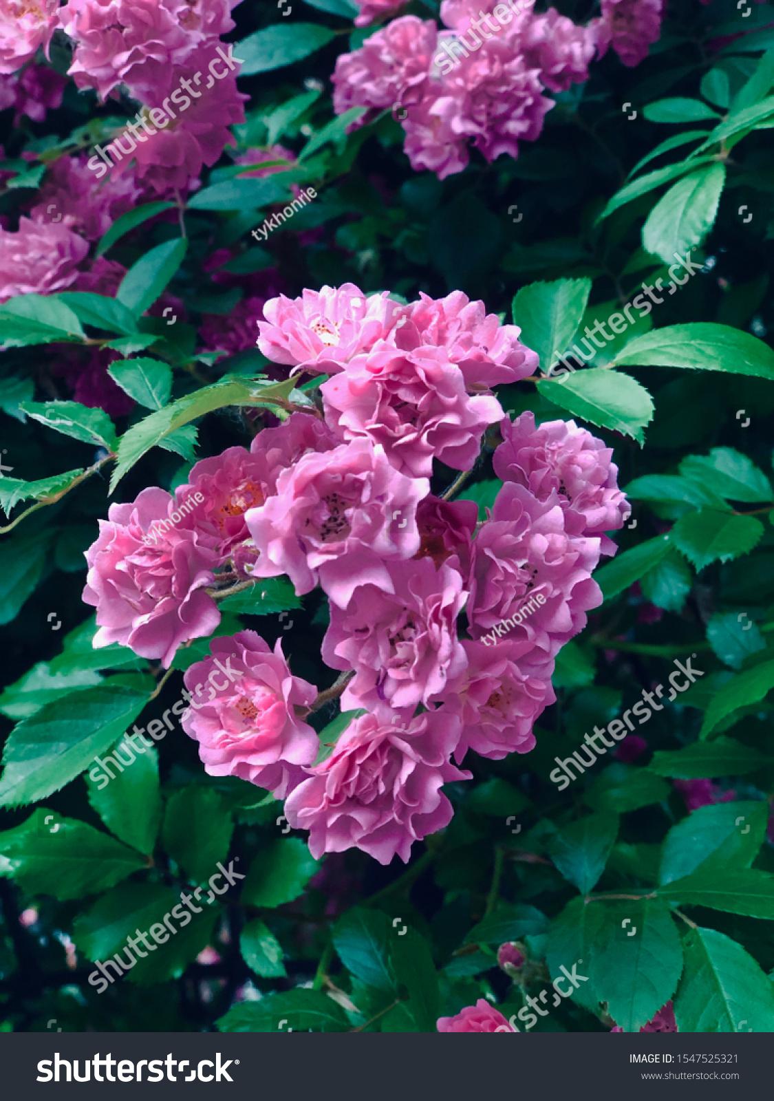 stock-photo-pink-rose-flower-image-beaut