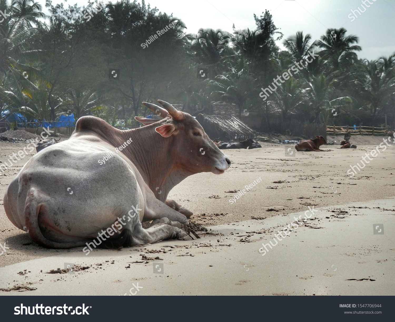 stock-photo-cows-on-the-beach-in-india-s