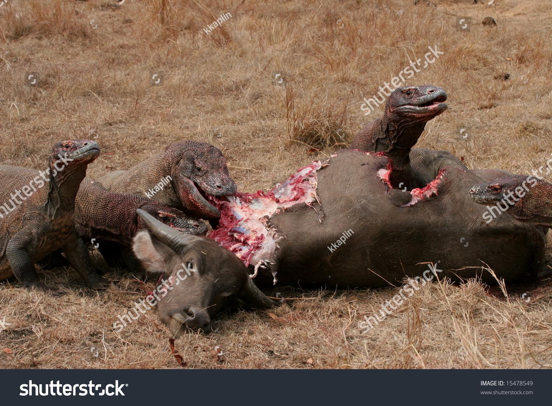 komodo dragons eating wild buffalo rinca stock photo edit now
