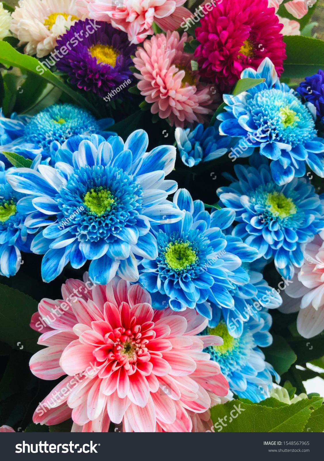 stock-photo-chrysanthemum-aster-blue-red