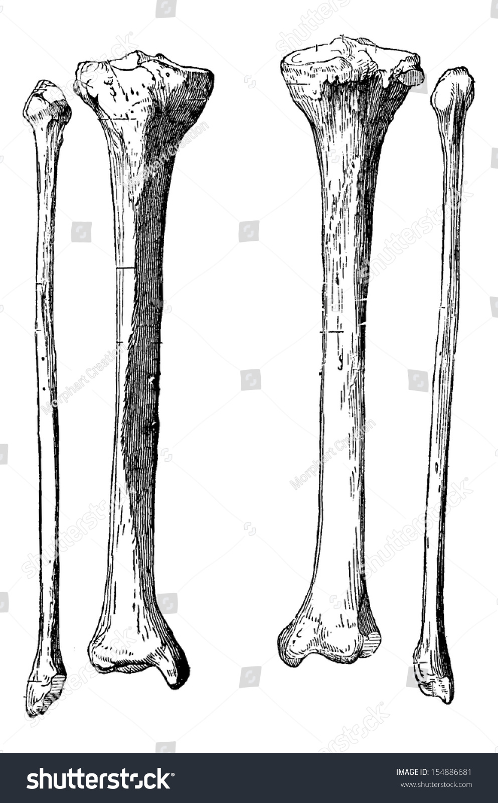 Leg Bones Tibia Fibula Vintage Engraved Stock Vector Royalty Free