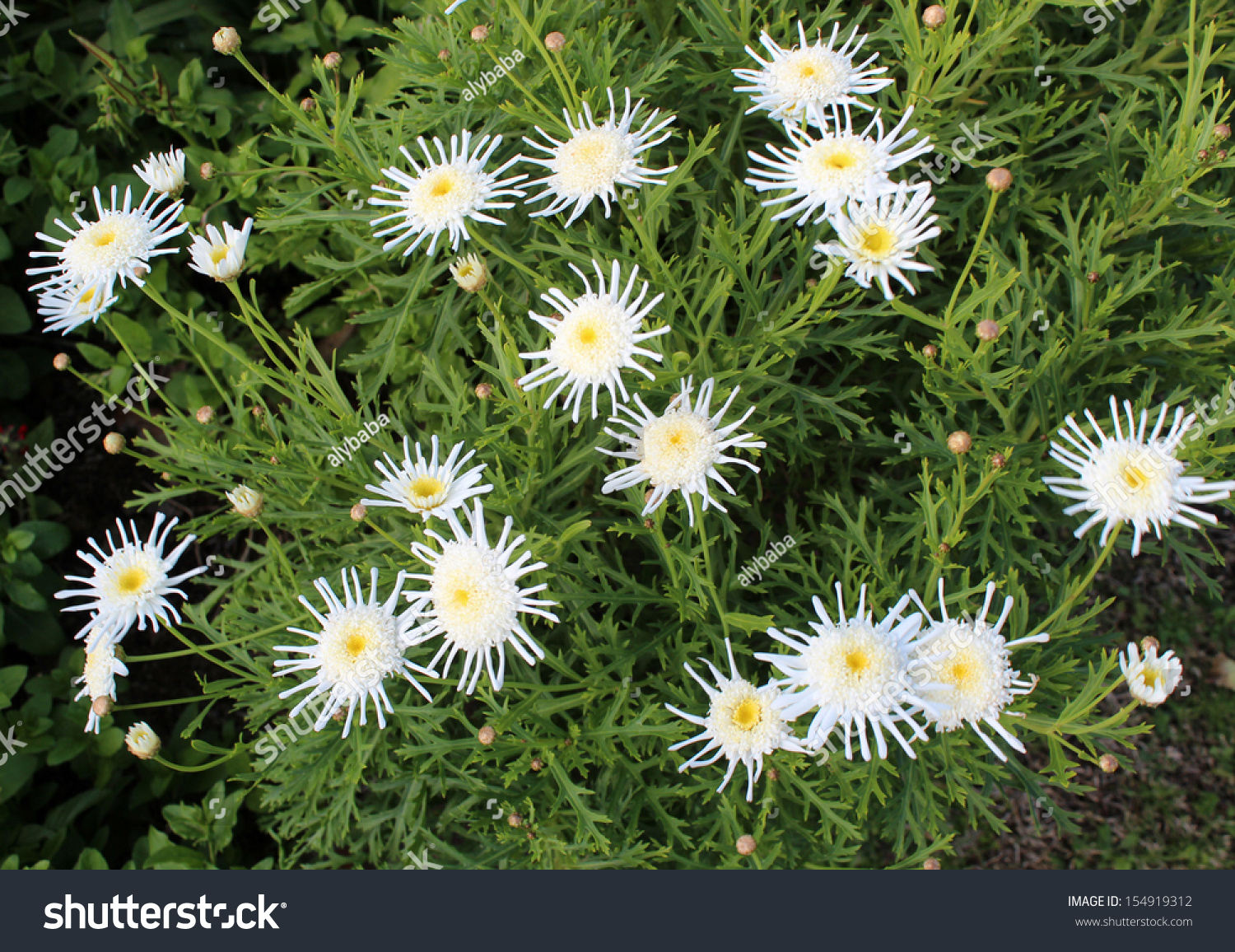 Beautiful elegant spidery double white blooms stock photo image beautiful elegant spidery double white blooms of marguerite daisy species in flower add the charm and izmirmasajfo